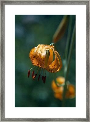 Leopard Lilly Framed Print by Chris Gudger