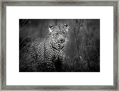 Leopard Male Looking For Food In Masai Mara Framed Print