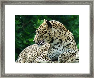 Leopard Framed Print by Nicola Butt