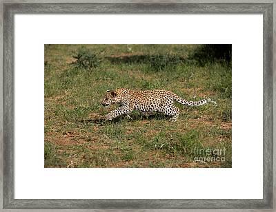 Leopard Panthera Pardus Cub Framed Print by Gerard Lacz