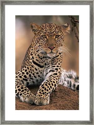 Leopard Panthera Pardus, Masai Mara Framed Print by Anup Shah