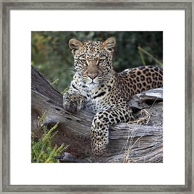 Leopard Panthera Pardus Resting Framed Print by Sergey Gorshkov