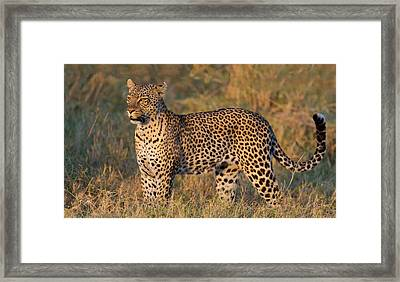 Leopard Panthera Pardus Standing Framed Print by Panoramic Images