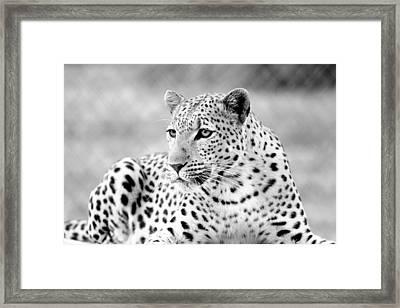 Leopard Framed Print by Riana Van Staden