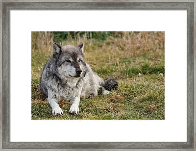 Leopold The Wolf Framed Print