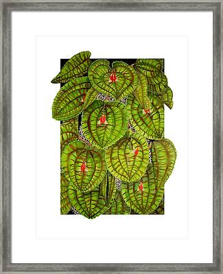 Lepanthes Calodictyon Framed Print by Darren James Sturrock