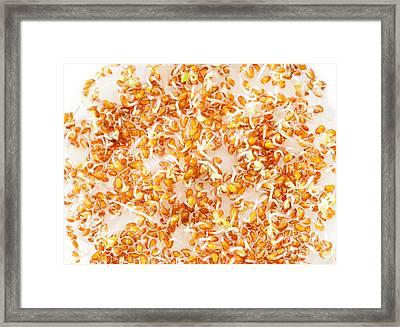 Lepidium Sativum Or Cress Sprouts Growing  Framed Print