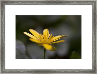 Framed Print featuring the photograph Lesser Celandine by Karen Van Der Zijden