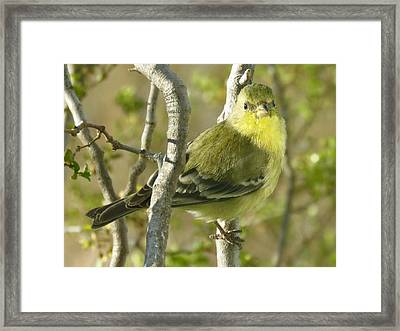 Lesser Goldfinch 1 Framed Print