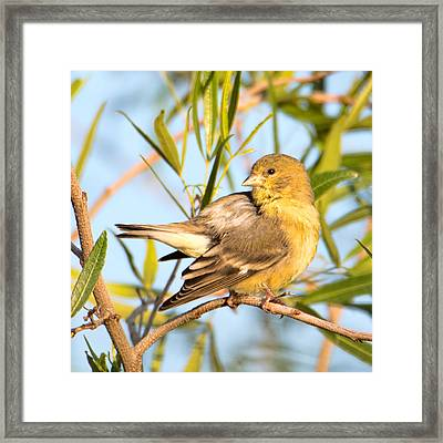 Framed Print featuring the photograph Lesser Goldfinch by Dan McManus