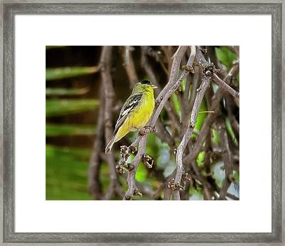 Framed Print featuring the photograph Lesser Goldfinch H57 by Mark Myhaver