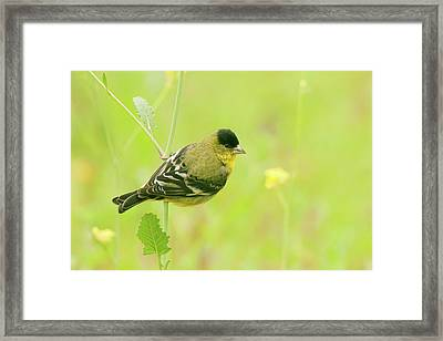 Framed Print featuring the photograph Lesser Goldfinch  by Ram Vasudev