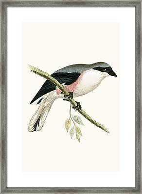 Lesser Grey Shrike Framed Print by English School