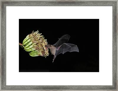 Lesser Long-nosed Bat Leptonycteris Framed Print by Tom Vezo
