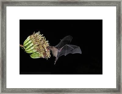 Lesser Long-nosed Bat Leptonycteris Framed Print