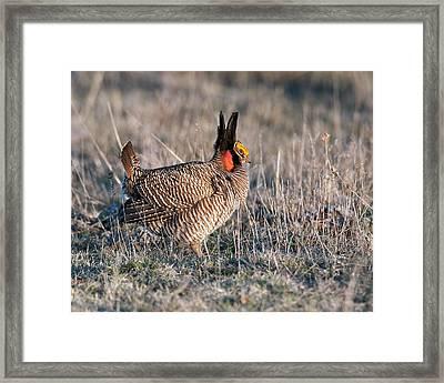 Lesser Prairie Chicken Displaying Framed Print