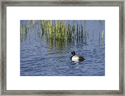 Lesser Scaup Adult Male Framed Print