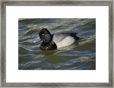 Framed Print featuring the photograph Lesser Scaup Drake by Bradford Martin