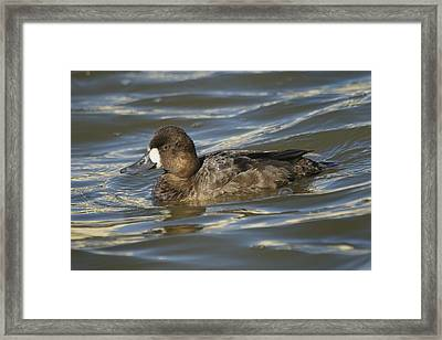 Framed Print featuring the photograph Lesser Scaup Hen by Bradford Martin