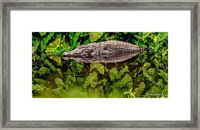 Let Sleeping Gators Lie Framed Print by Christopher Holmes