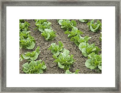 Lettuce Growing Framed Print by Inga Spence