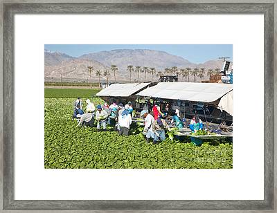 Lettuce Harvest Framed Print by Inga Spence