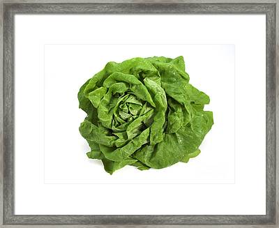 Lettuce Lactuca Sativa Framed Print by Gerard Lacz