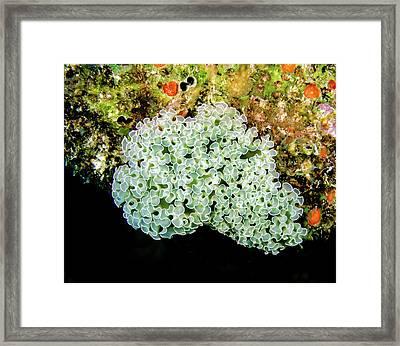 Lettuce Sea Slug Framed Print by Jean Noren