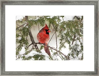 Framed Print featuring the photograph Leucistic Northern Cardinal by Everet Regal