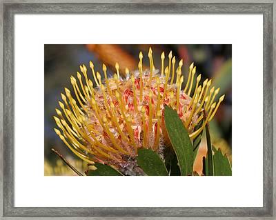 Leucospermum Muirii Framed Print