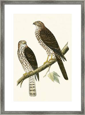 Levant Sparrow Hawk Framed Print by English School