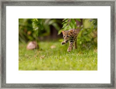 Levitating Leopard Cat Framed Print by Ashley Vincent