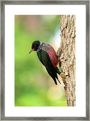 Lewis Woodpecker Framed Print
