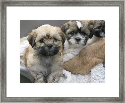 Lhasa Apso Puppy Painting Framed Print
