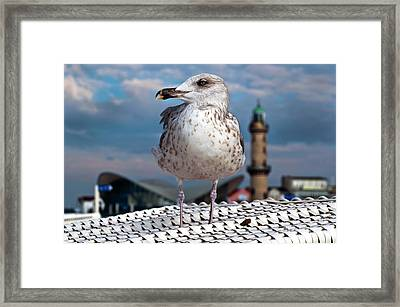 Liberty Of An Pacific Gull Framed Print