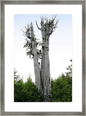 Life At The Top - Duncan Cedar Olympic National Park Wa Framed Print