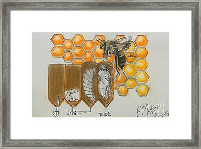 Life Cycle Of A Bee  Framed Print