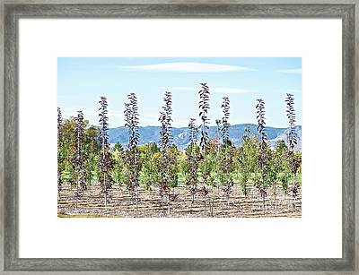 Life On A Tree Farm-foothills View #1 Framed Print