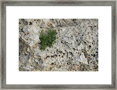 Life On Bare Rock - Pockmarked Limestone And Thyme Framed Print by Georgia Mizuleva