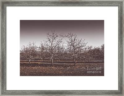 Lifeless Cold Winter Orchard Trees Framed Print