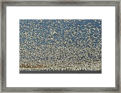 Lift Off Snow Geese 2 Framed Print by Bob Christopher