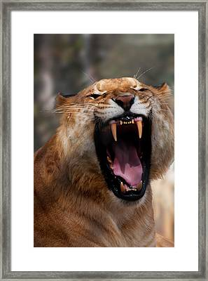 Framed Print featuring the photograph Liger by Chris Flees