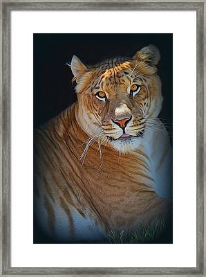 Liger Relaxing Framed Print by Diane Alexander