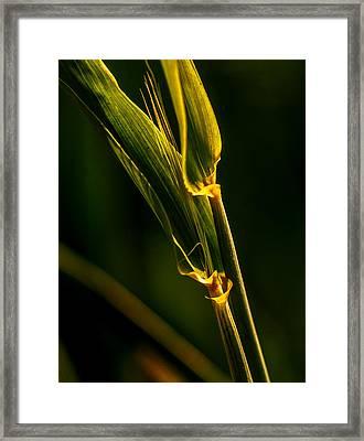 Light And Cereal Branch Framed Print
