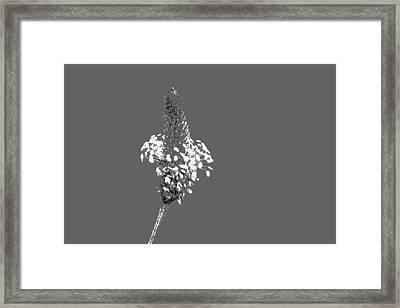 Light Grey Plantain Framed Print