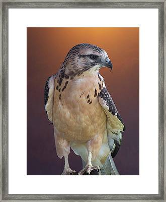 Light Morph Immature Swainsons Hawk Framed Print
