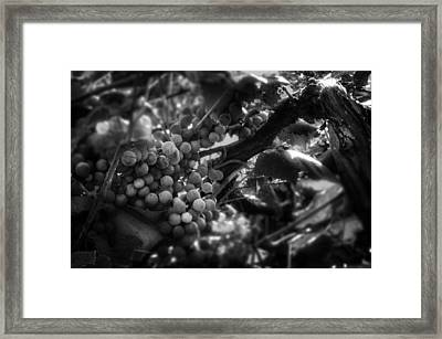 Light On The Fruit In Black And White Framed Print