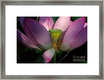 Light On The Lotus Framed Print by John S
