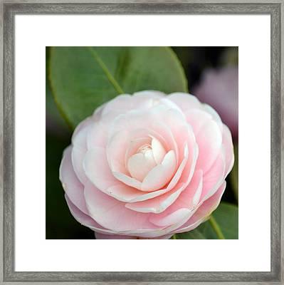 Light Pink Camellia Flower Framed Print