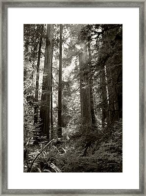 Light Through Redwoods Framed Print